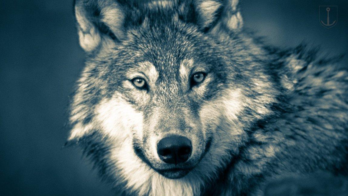 Wilk pod domem. Co robić?